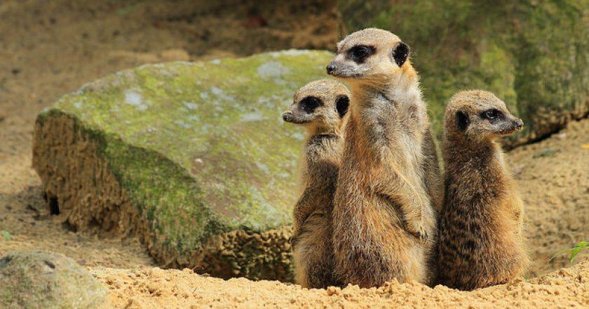 meerkats multimeerkat