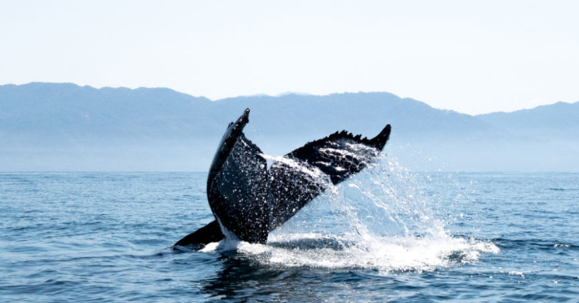 whale watching San Diego, Watching Blue Whales, Watching Humpback Whales, Watching Killer Whales, Watching Gray Whales